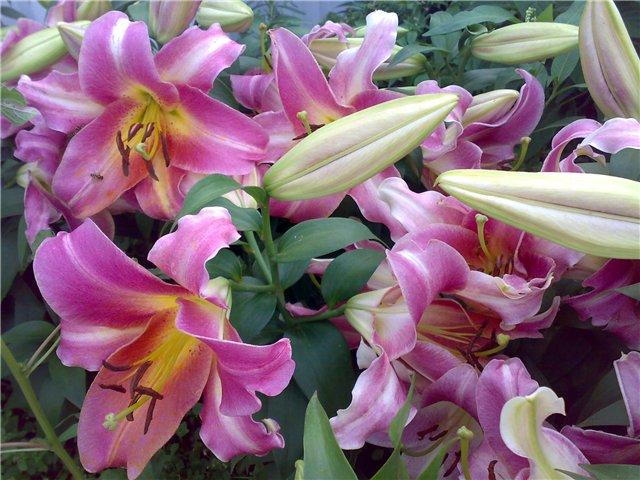 лилии от гибриды